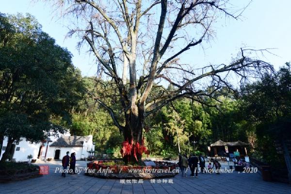 千年银杏树--相传此树为当年在此隐居的庞统亲手所植,该树有1800多年的历史,被当地人视为金鸾山的镇山之宝。